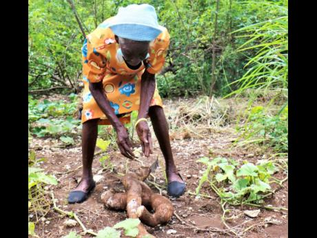 Ida Scott digs her cassava from the soil on her farm in Belmont, Bluefields, in Westmoreland.