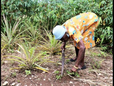 Ida Scott removes weeds that are growing among her pineapple plants.